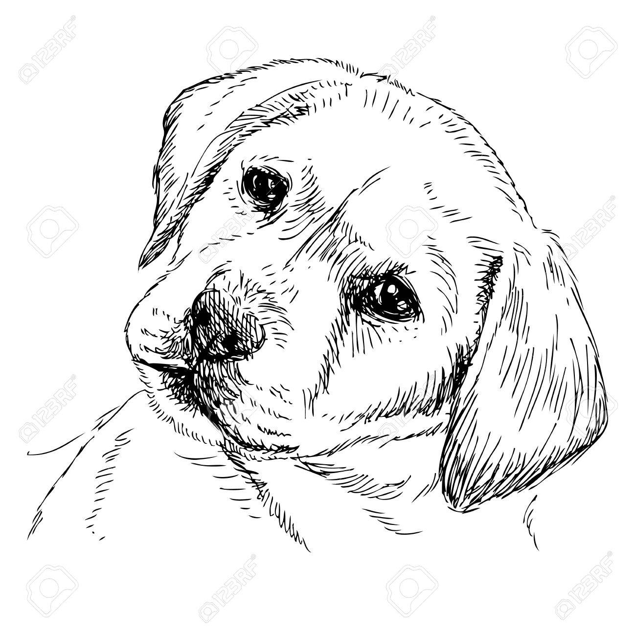 Image Of Labrador Retriever Puppy Hand Drawn Vector Royalty Free Cliparts Vectors And Stock Illustration Image 38900006