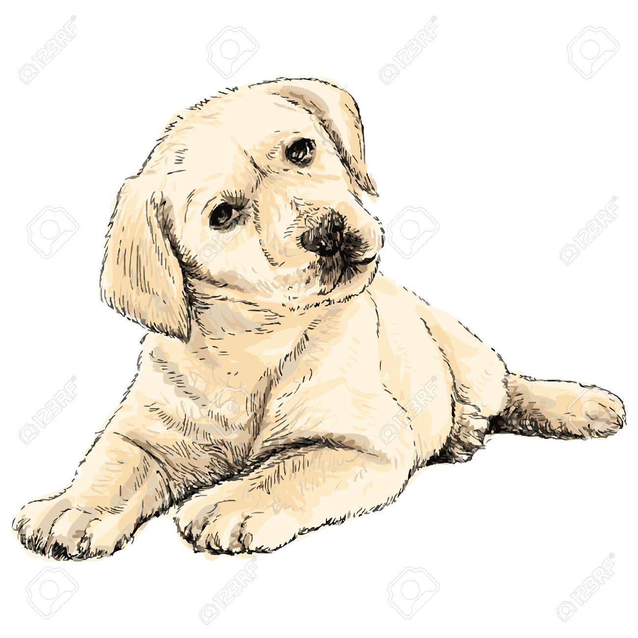 Image Of Labrador Retriever Puppy Hand Drawn Vector Royalty Free Cliparts Vectors And Stock Illustration Image 38900008