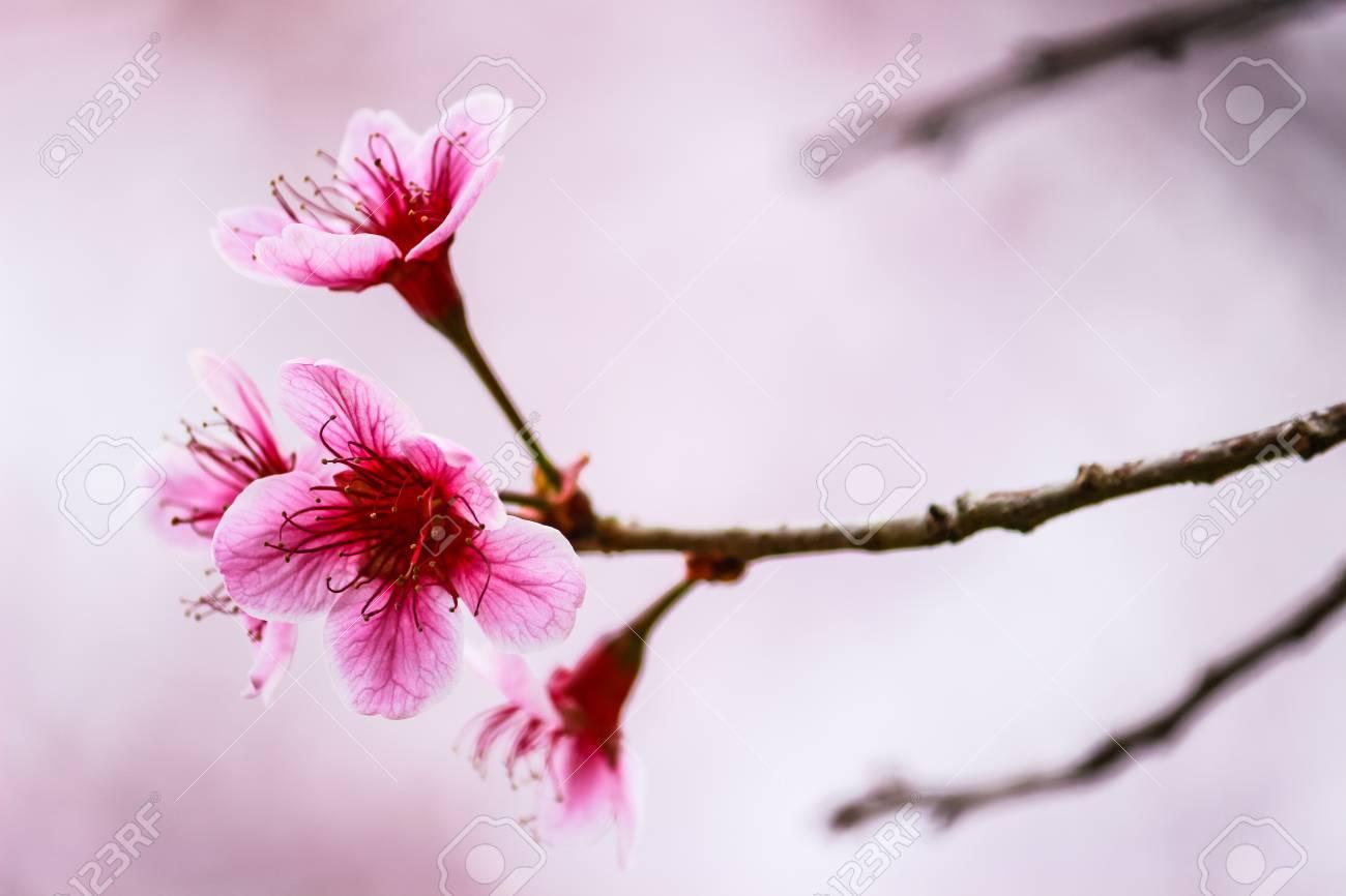 la flor de los cerezos en flor hermosa y árbol en phu lom lo