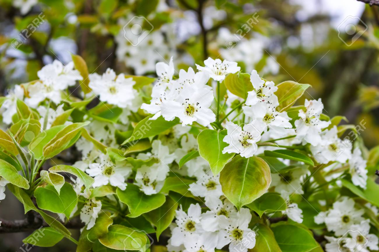 White Flowers On The Branches Of Trees In The Spring Lizenzfreie