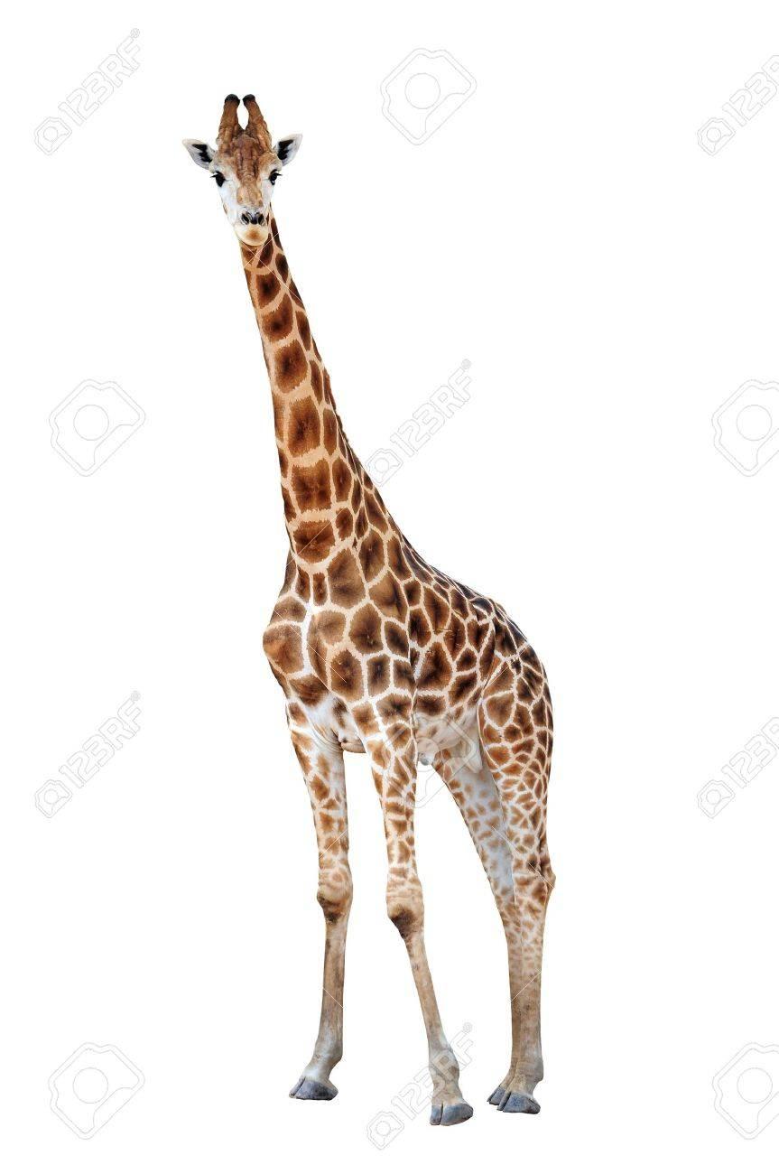 Giraffe isolated Stock Photo - 15444614