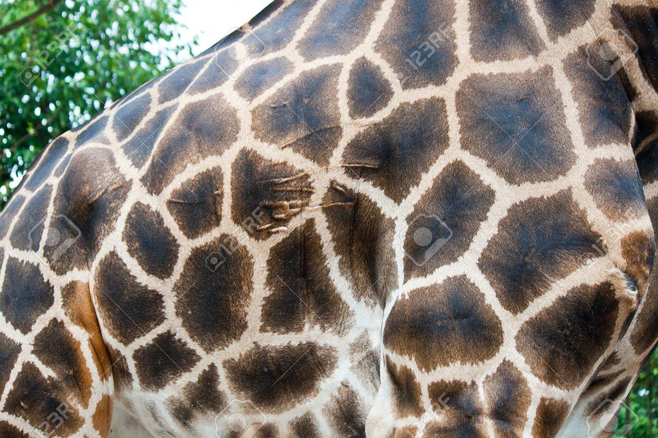 giraffe skin fur background Stock Photo - 15444628