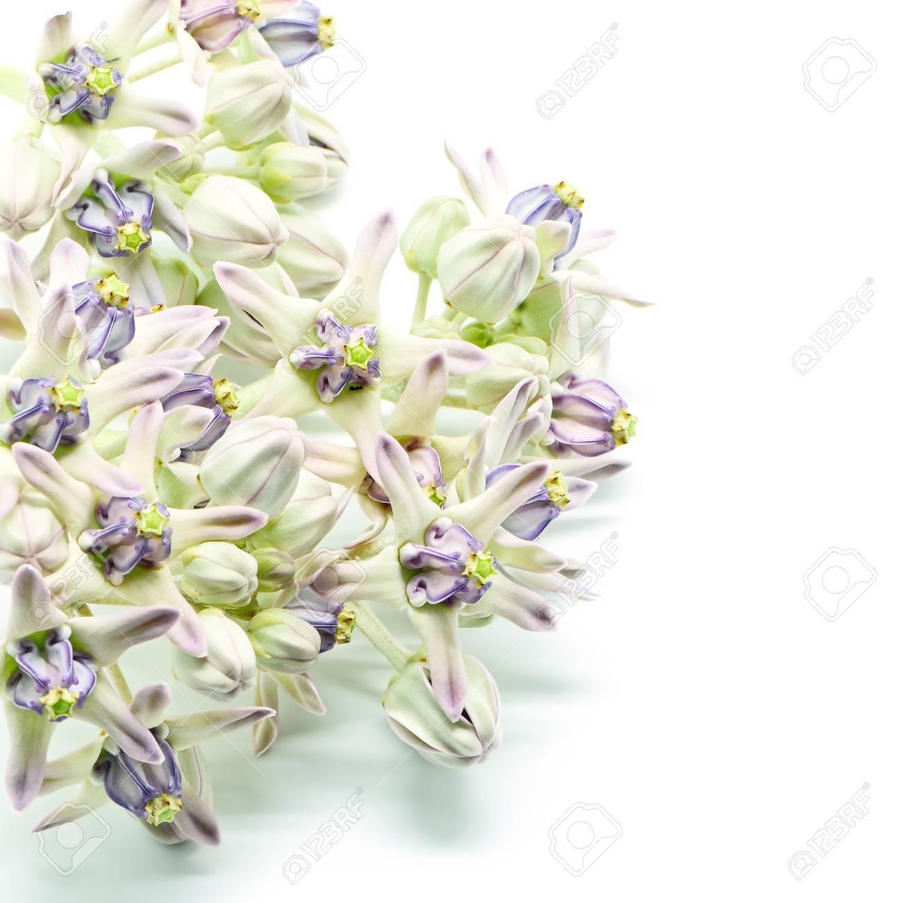 Fleur Blanche Et Violet Colore Fleur De La Couronne Geant Indien
