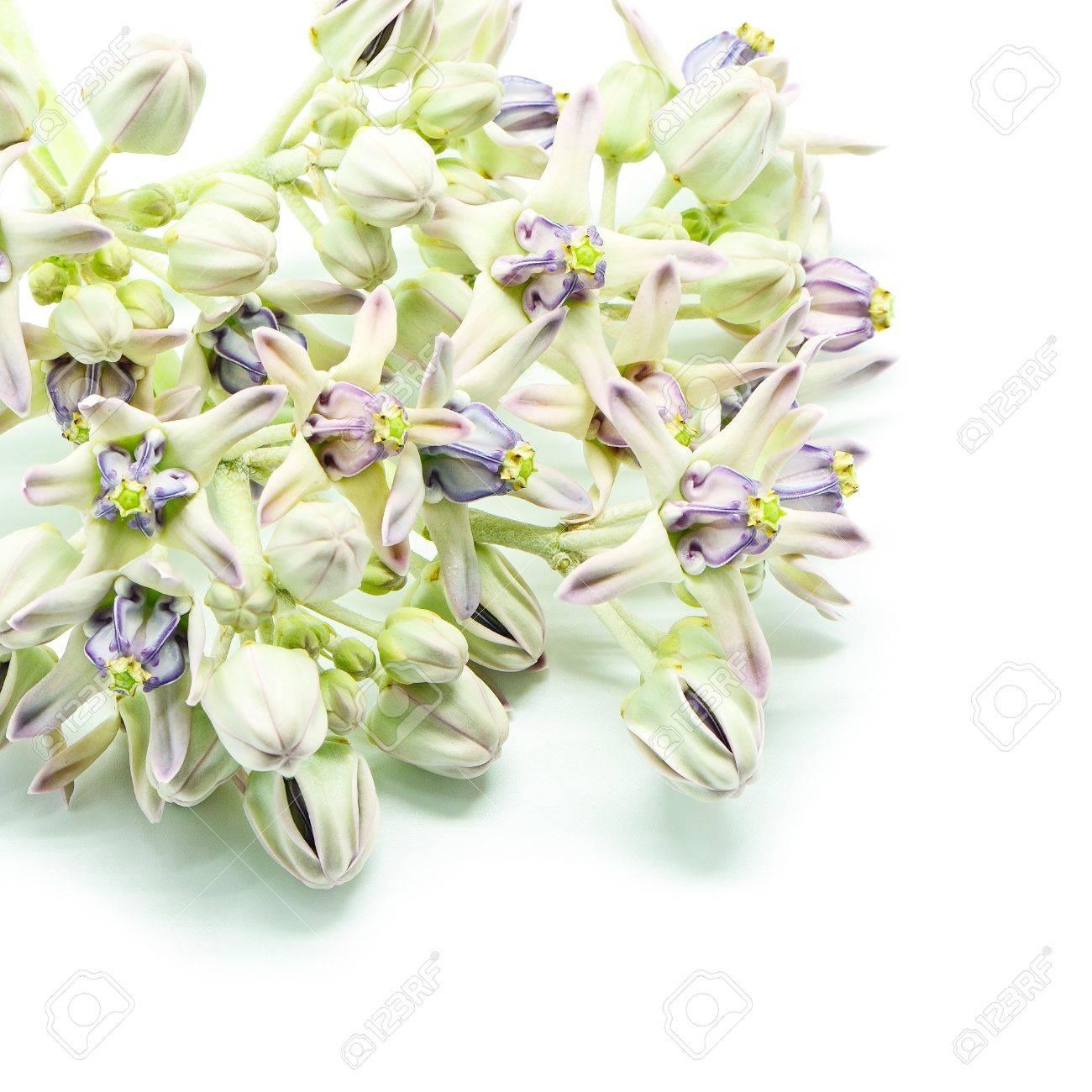 Fleur Blanche Et Pourpre Colore Fleur De La Couronne Geant Indien
