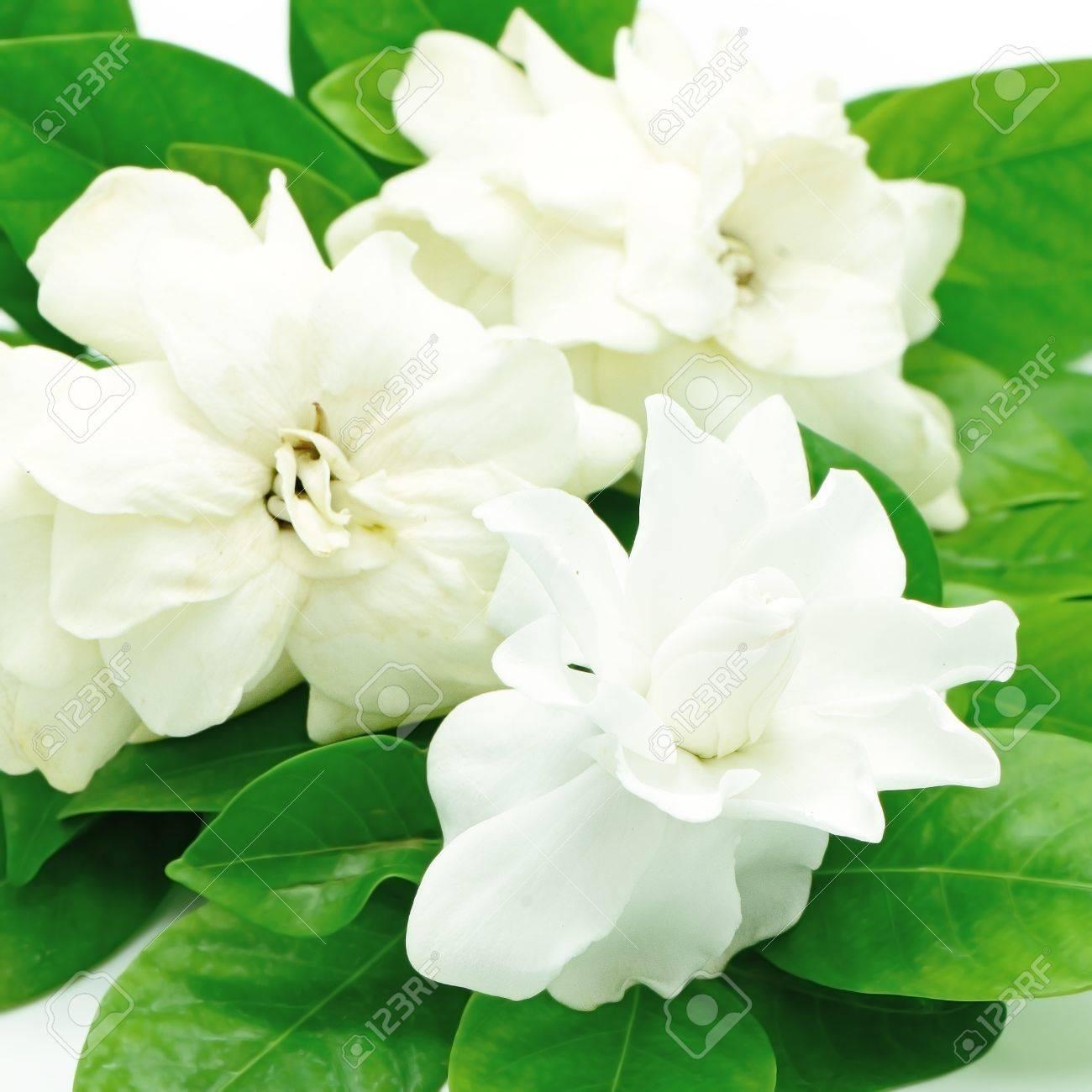 White Gardenia Flower Or Cape Jasmine Gardenia Jasminoides
