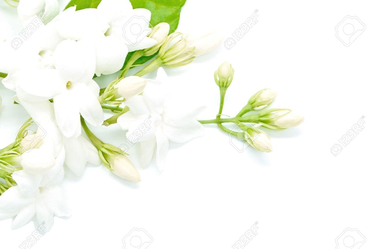 White jasmine flower isolated on a white background stock photo stock photo white jasmine flower isolated on a white background izmirmasajfo Gallery