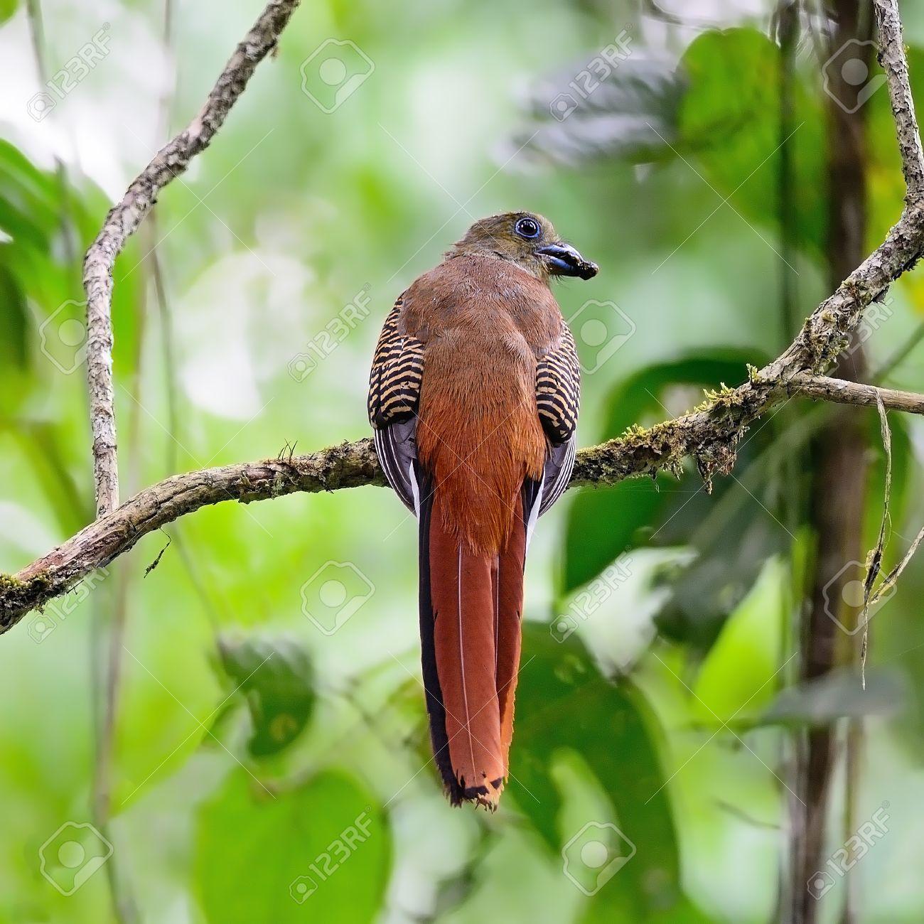 Eine Weibliche Orange-breasted Trogon Bird (Harpactes Oreskios ...