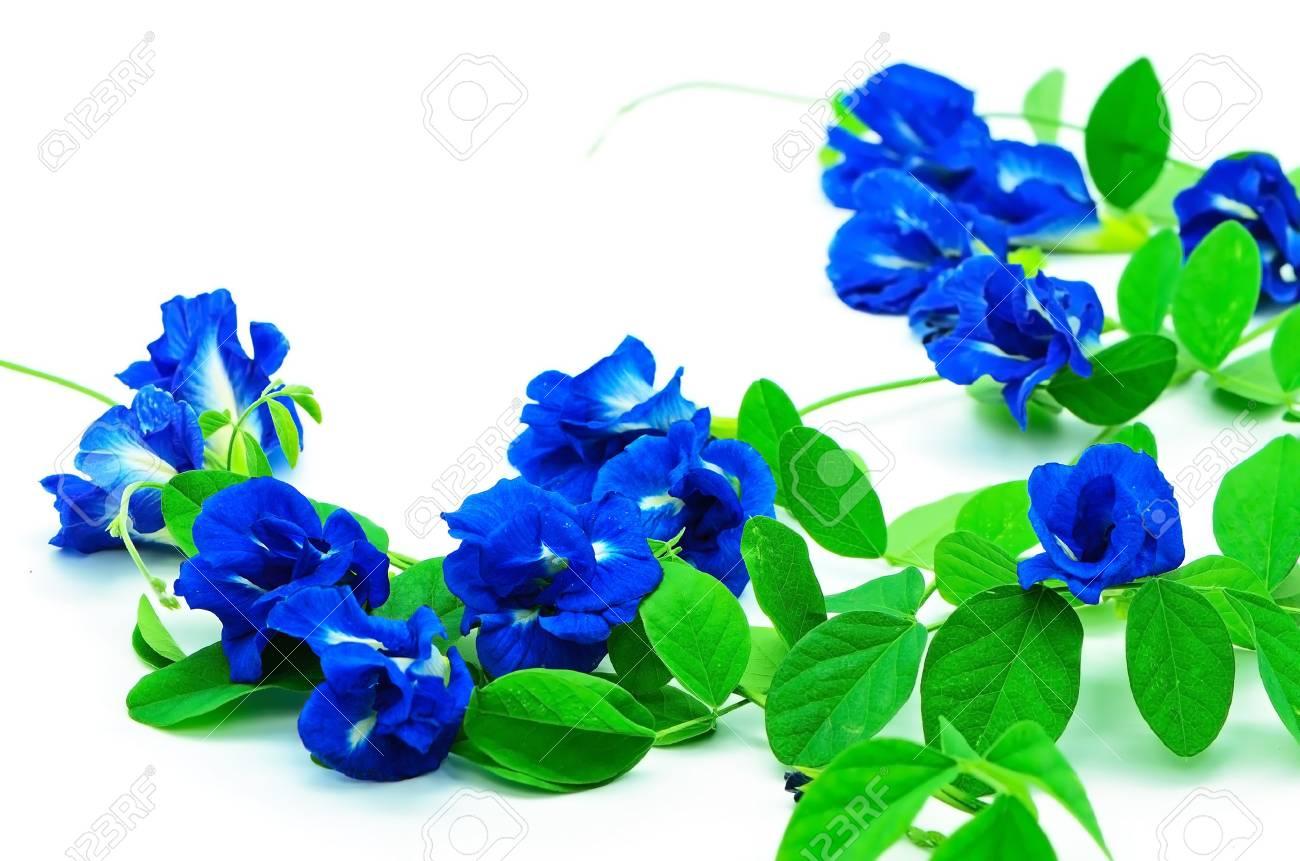 summer flower of a climber blue flower butterfly pea pigeon