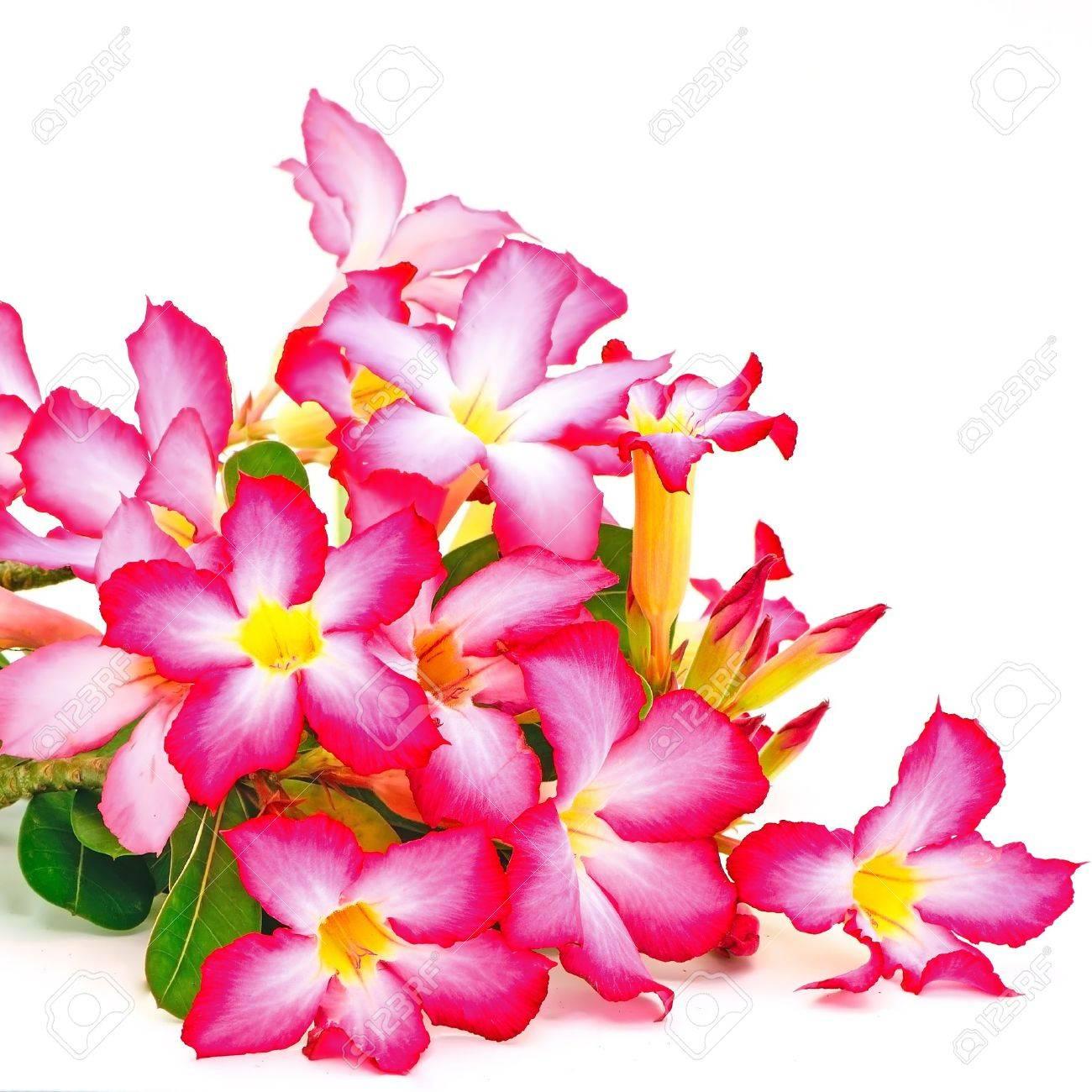 Fleur D Ete De L Impala Lily Une Belle Fleur Rouge Isole Sur Un