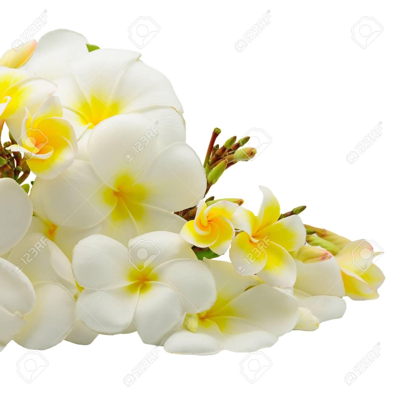 Fleur De Fleur Blanche Et Jaune De Plumeria Fleur Tropicale Isole