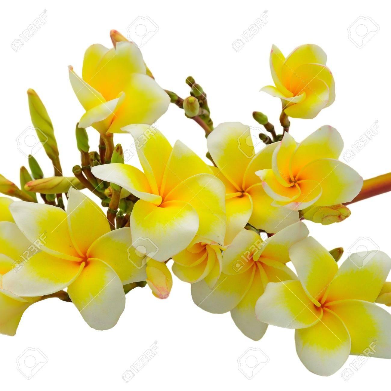 Belle Fleur Blanche Et Jaune De Plumeria Fleur Tropicale Isole Sur