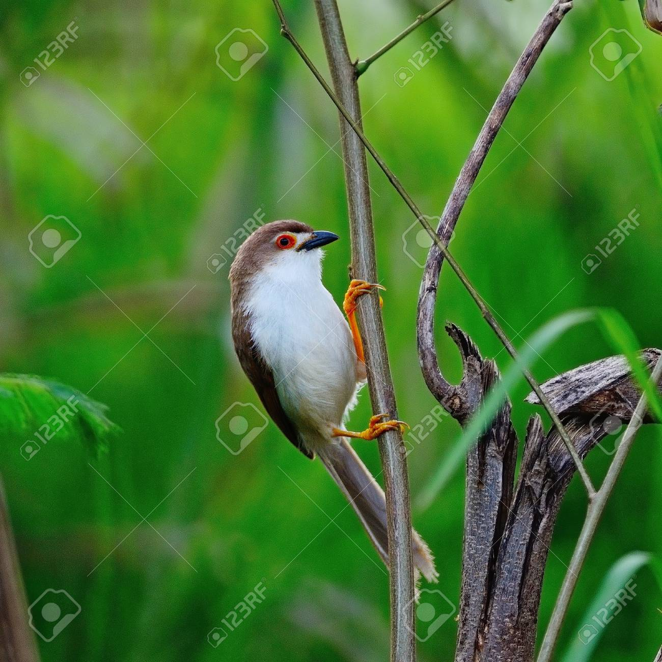 Beautiful Yellow-eyed Babbler bird (Chrysomma sinense), standing on a branch, side profile Stock Photo - 21214036