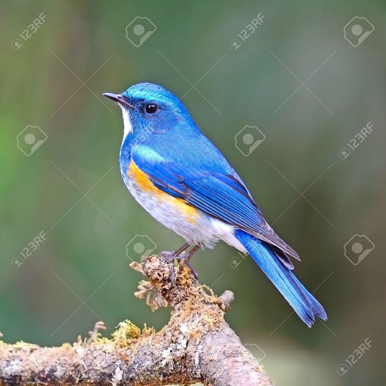 青の鳥、男性ルリビタキ (ルリ...