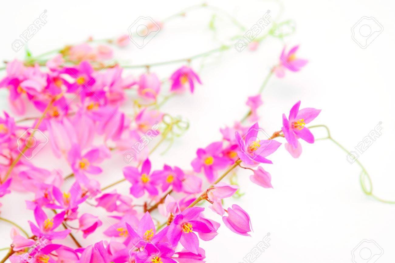 Fleur Rose Colore Mexicain Plante Grimpante Ou Vigne De Corail