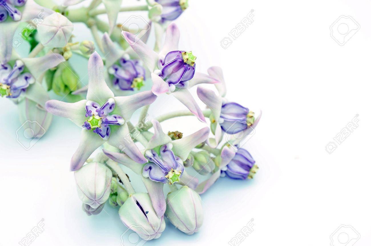 White And Purple Flower Crown Flower Giant Indian Milkweed