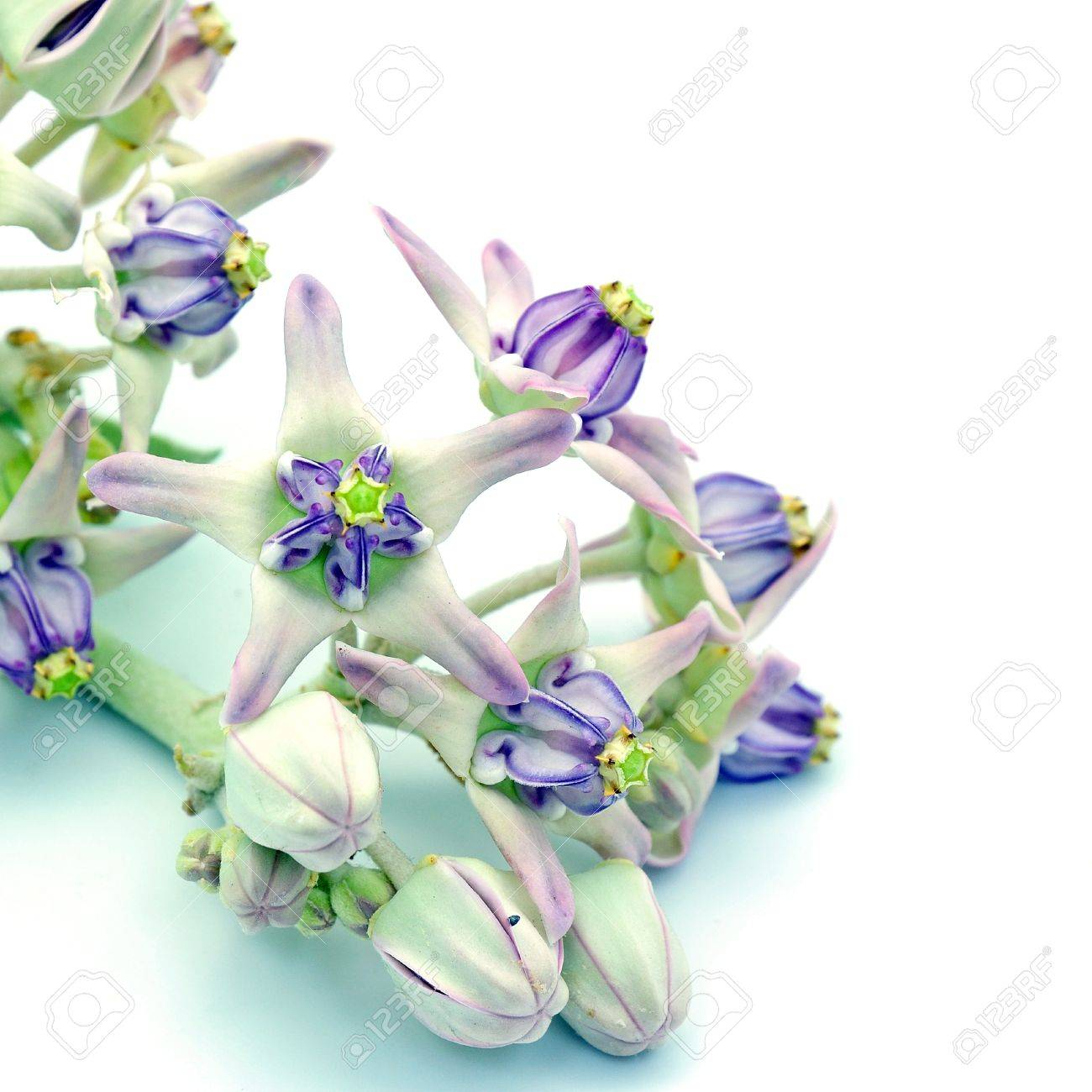 Multicolor With White And Purple Flower Crown Flower Giant Stock