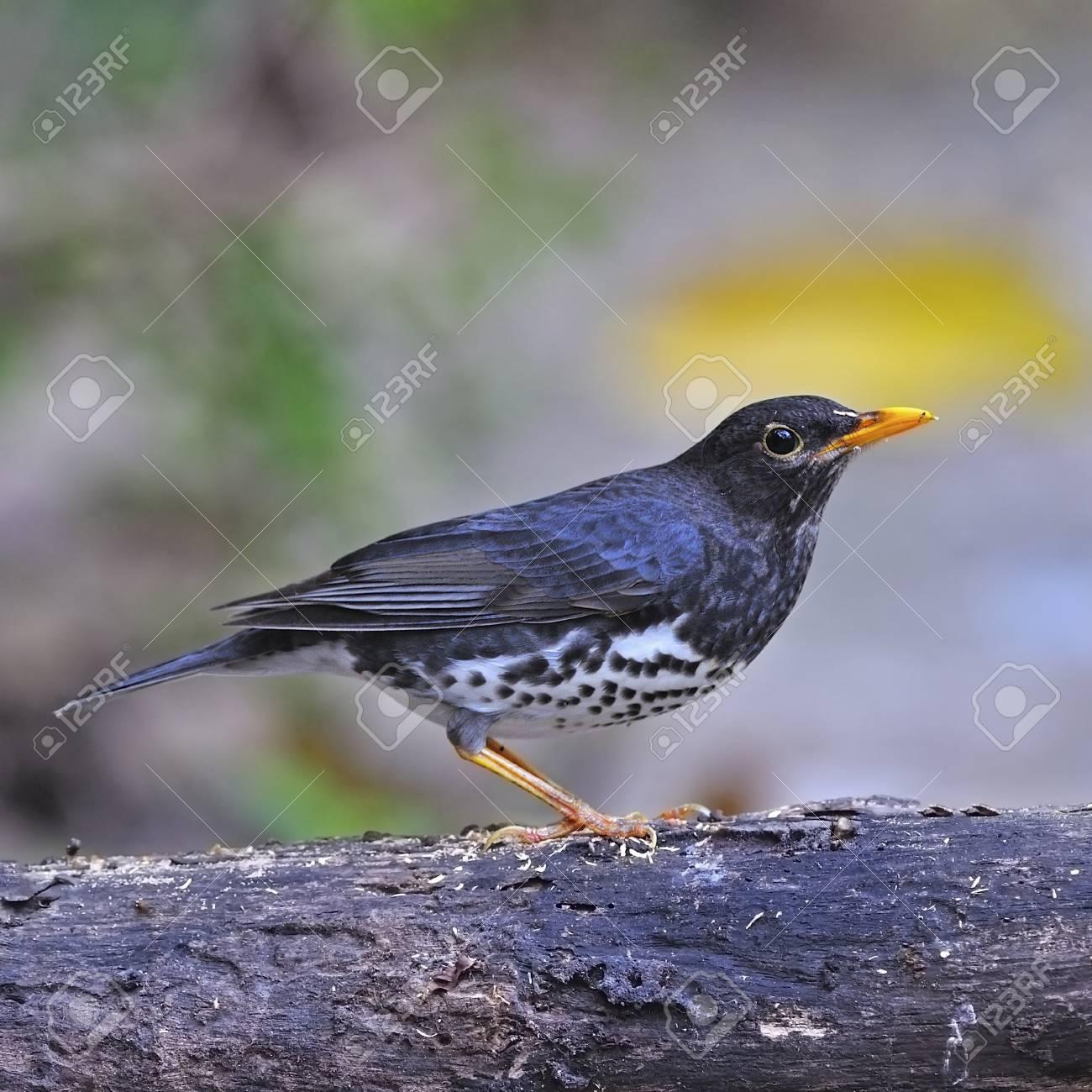 美しい鳥、男性クロツグミ (つぐ...