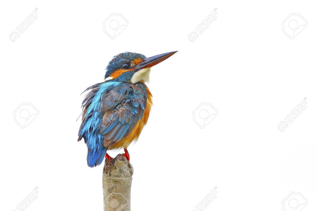 Portrait of beautiful female Common Kingfisher (Alcedo athis) isolated on white background Stock Photo - 21266691