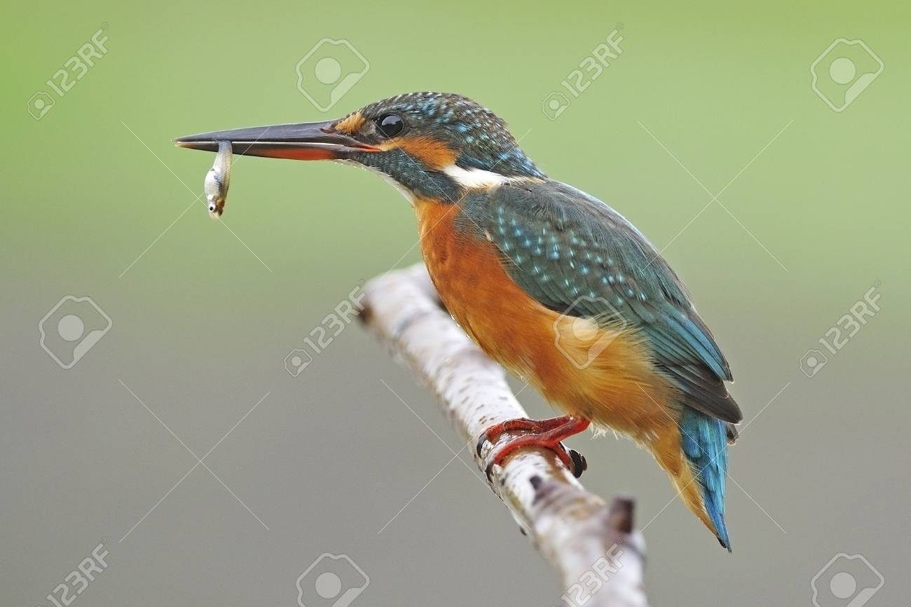 Bingo catching fish, beautiful female Common Kingfisher (Alcedo athis) sitting on a branch Stock Photo - 21266710