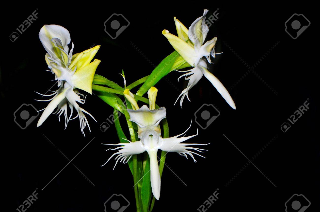 Ground orchid, Pectelis susannae, laxly 3 to 5 flowered inflorescence with lanceolate, acute to acuminate, munutely glandular pubescent floral bracts and carrying nocturnally fragrant flowers Stock Photo - 21266831