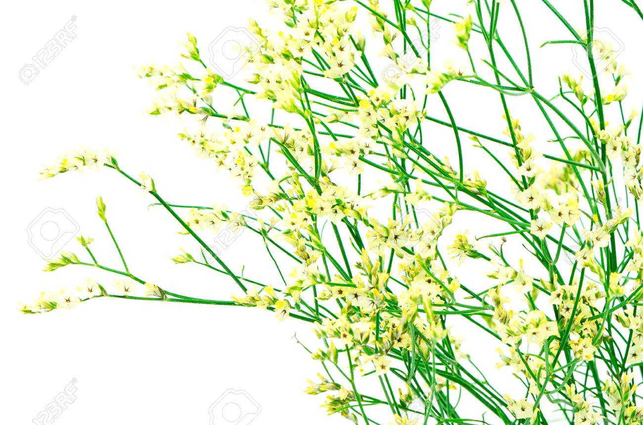 Beautiful yellow statice flower isolated on white stock photo beautiful yellow statice flower isolated on white stock photo 21561906 mightylinksfo