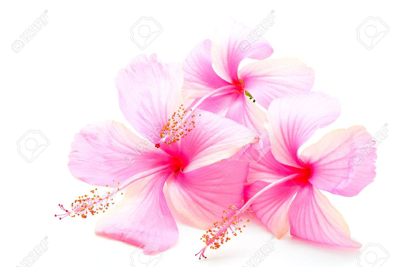 Beautiful Pink Hibiscus Flower Isolated On A White Background