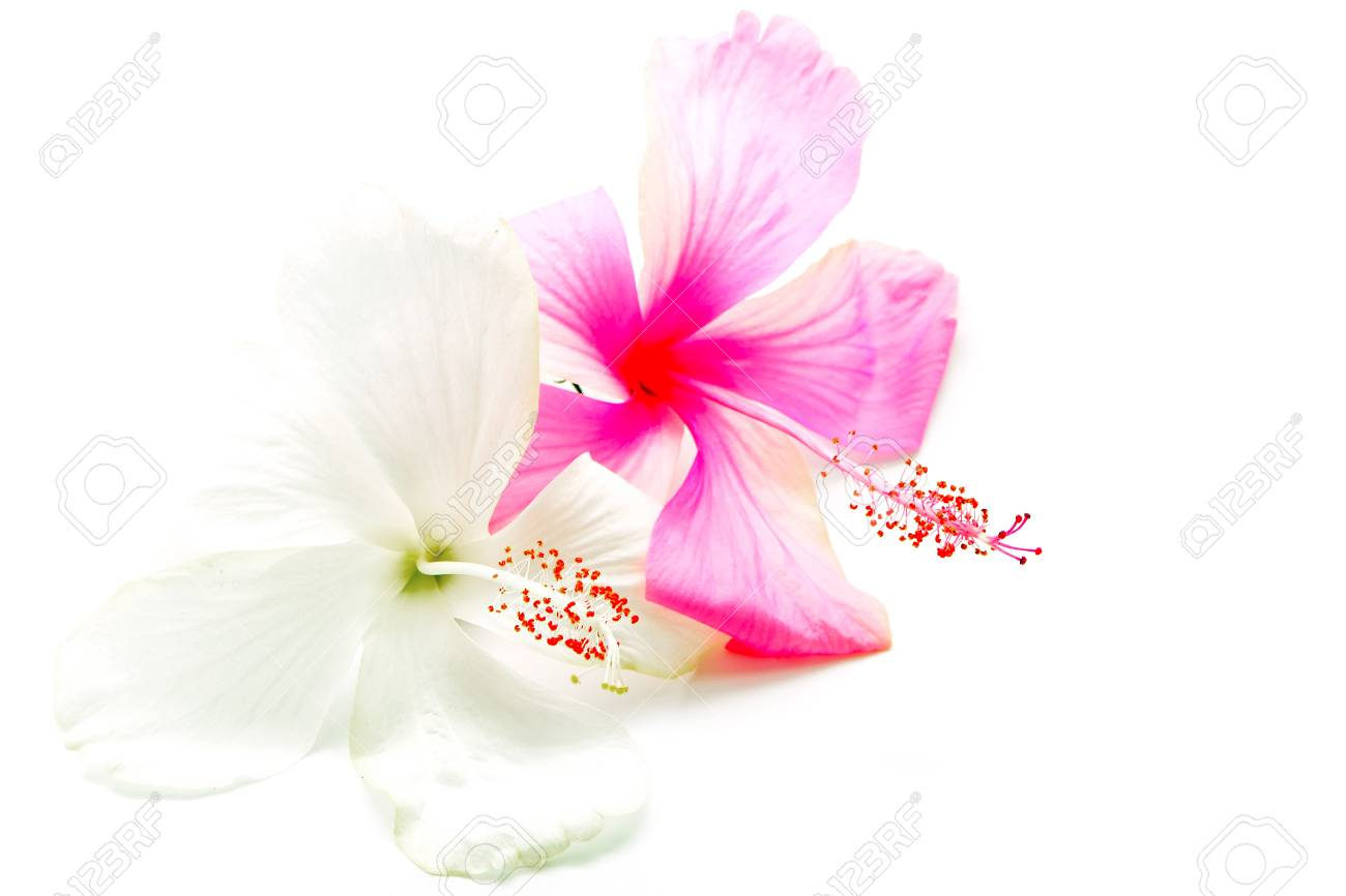 Colorful Pink And White Hibiscus Flower Isolated On A White Stock