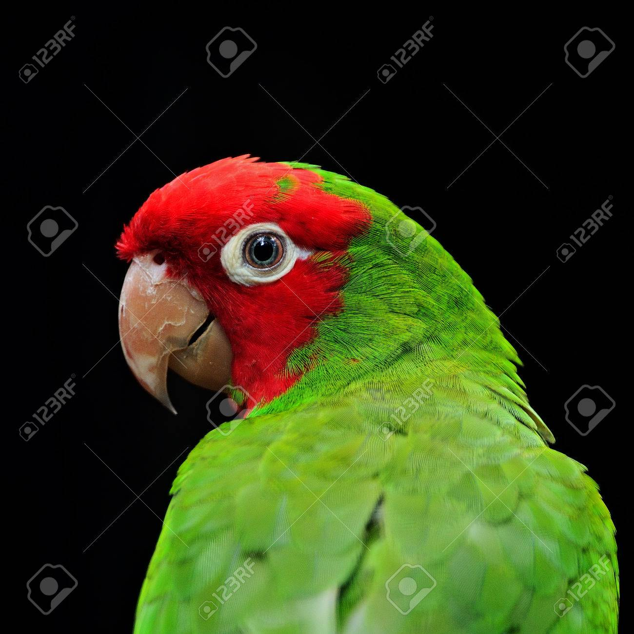 Colorful Red Masked Conure or Cherry-headed Conure (Aratinga erythrogenys), face profile Stock Photo - 23575471