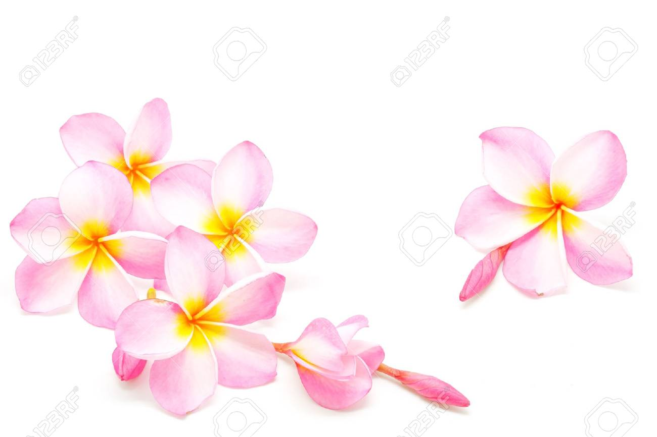 Blossom of pink plumeria flower isolated on a white background blossom of pink plumeria flower isolated on a white background stock photo 29564005 mightylinksfo