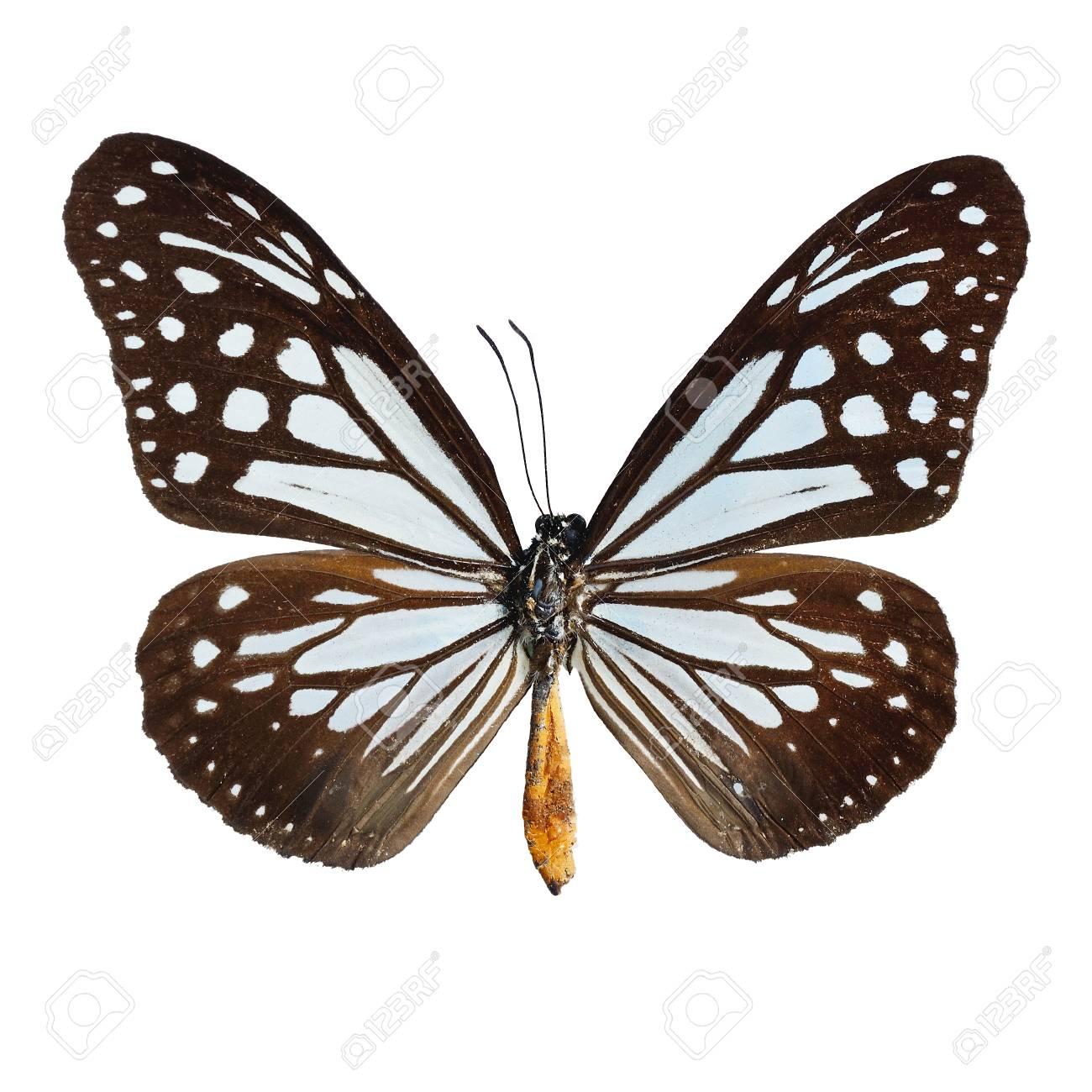 Immagini Stock Farfalla Blu E Marrone Tawny Mime Farfalla