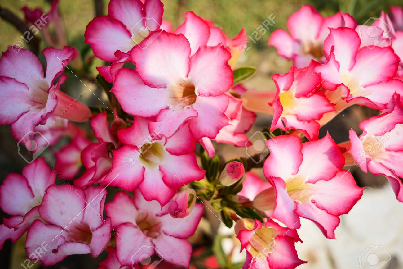 Pink Azalea Flowers Stock Photo Picture And Royalty Free Image