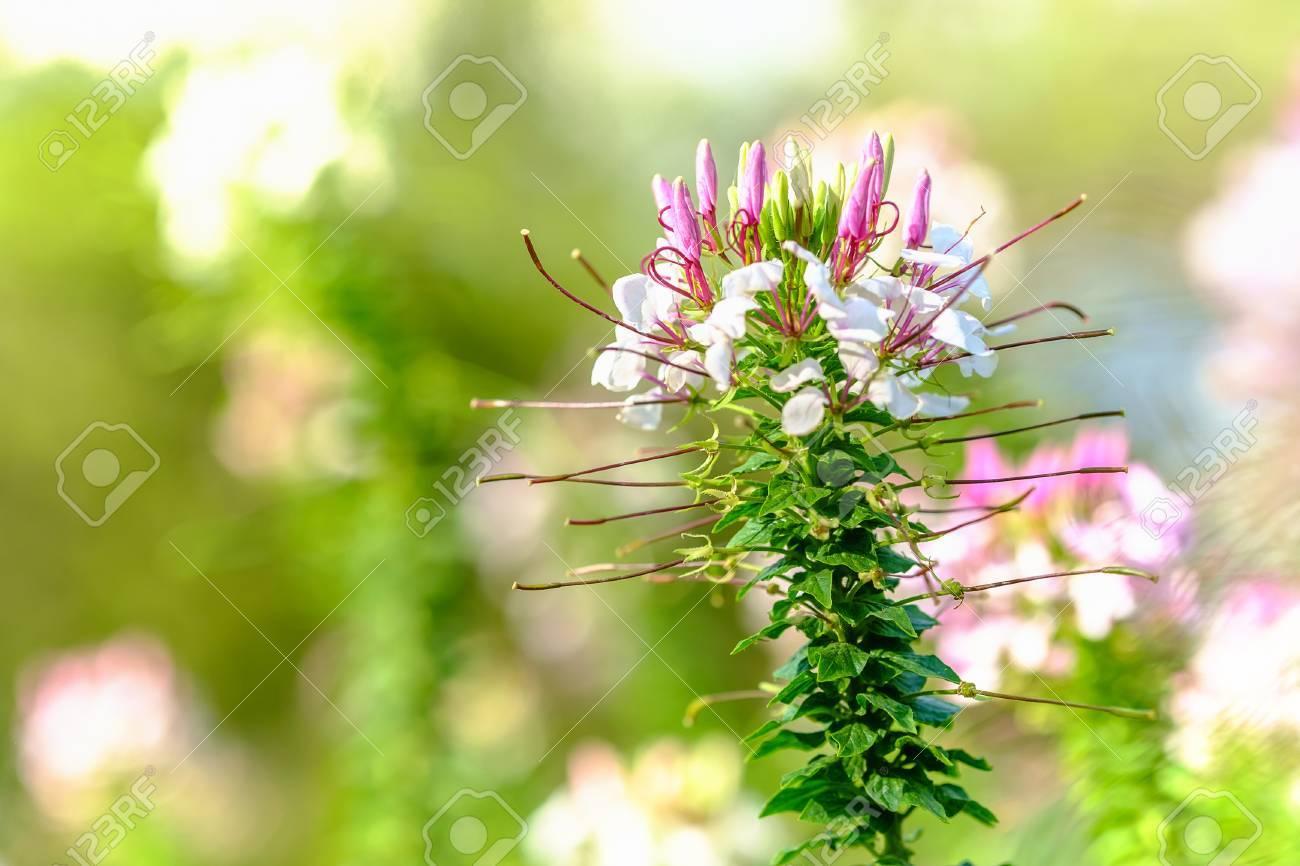 Fleur D Araignee A Foyer Peu Profond Fleur D Araignee Epineuse Ou