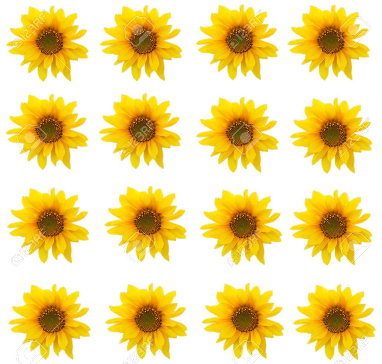 Sunflower. Stock Photo - 11330084