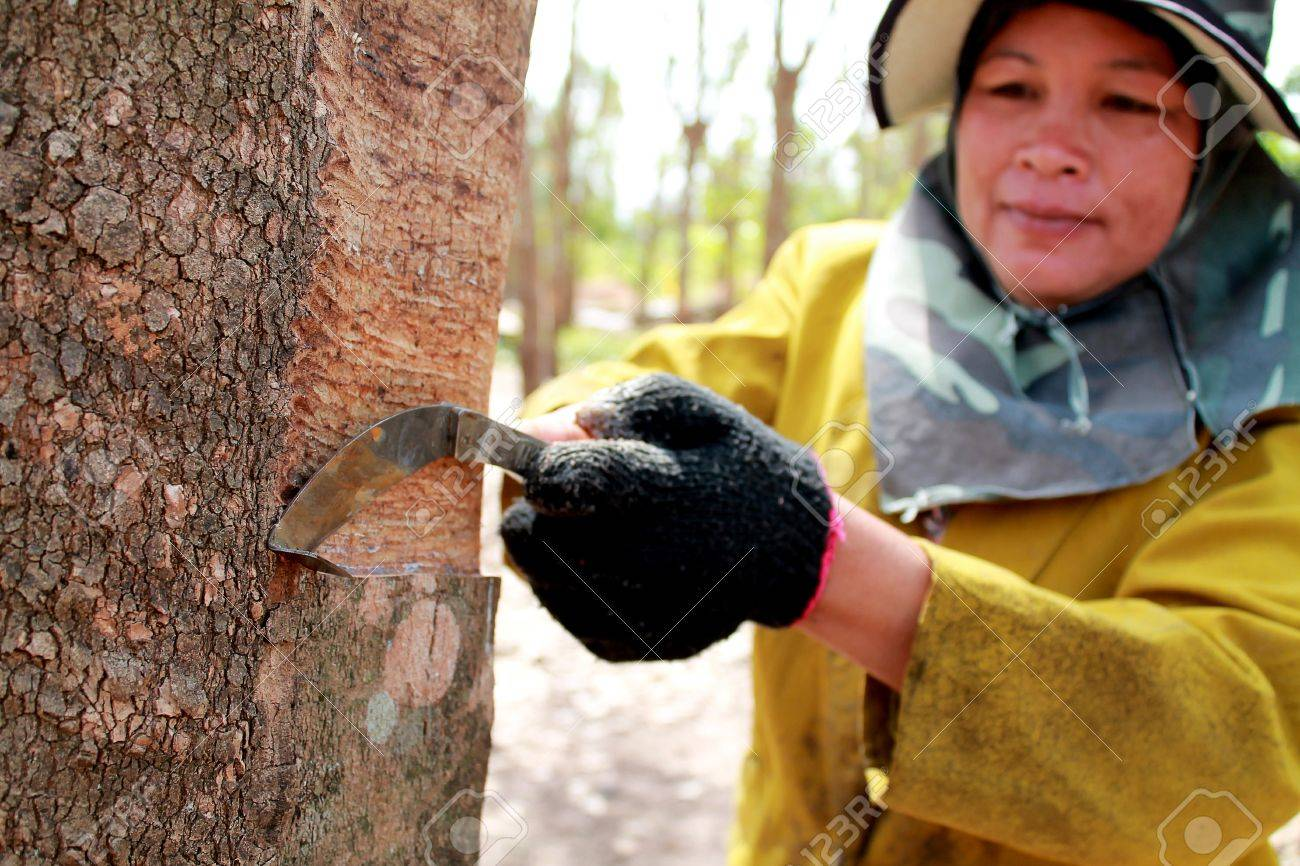 Tapping latex from a rubber tree. Phuket, Thailand Stock Photo - 14282128
