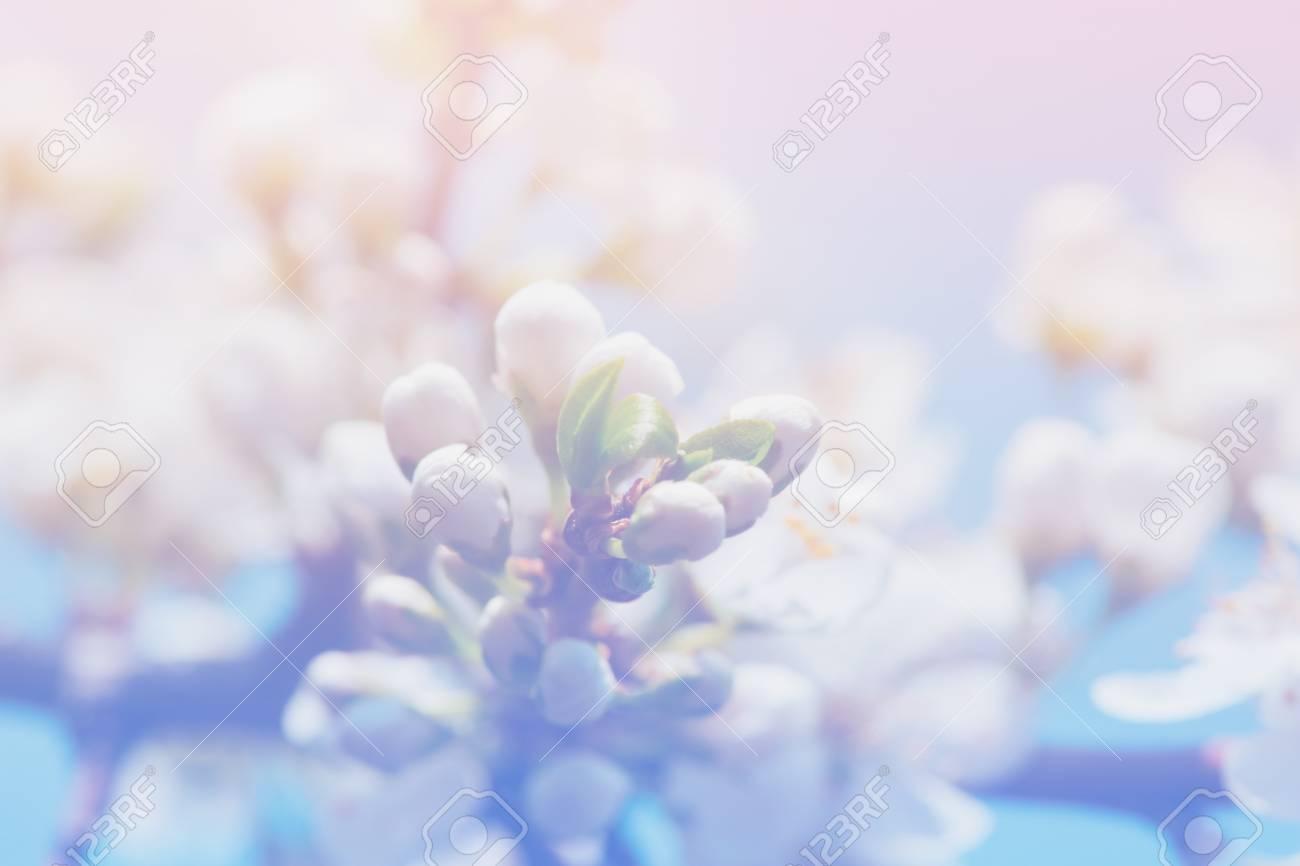 Fiore Di Mela Di Primavera Fiori Su Uno Sfondo Rosa E Blu Chiaro