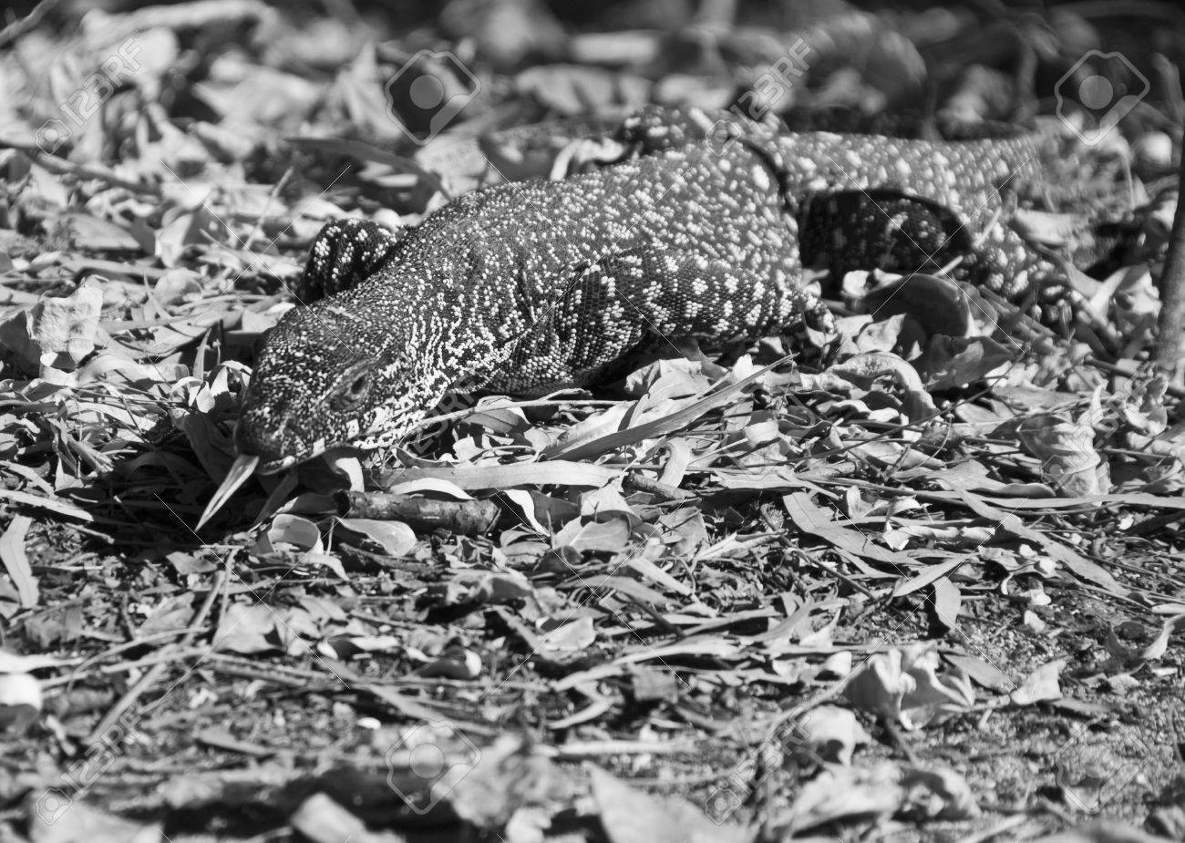 Monitor Lizard in the Whitsunday Islands Archipelago Stock Photo - 12167622