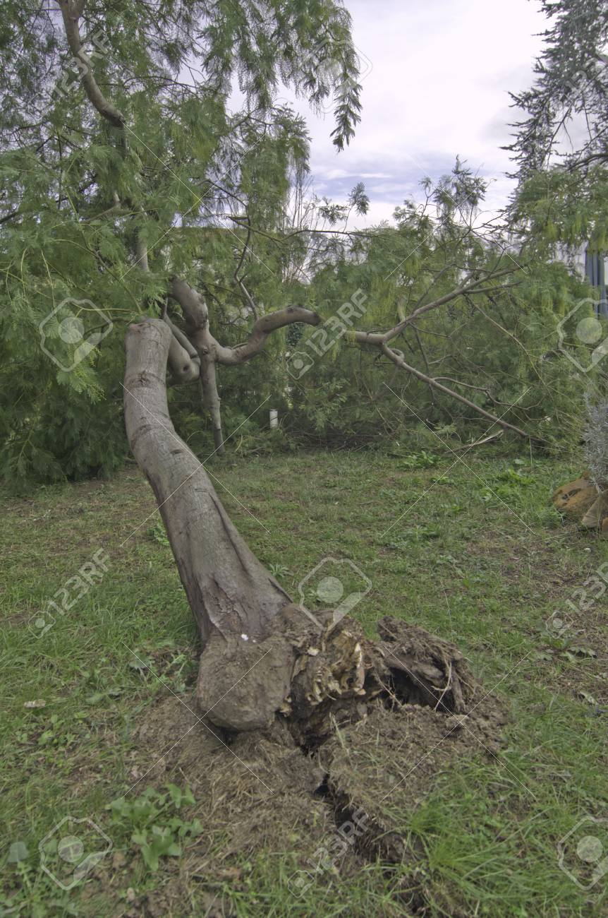 Tree Fallen after a Wind Storm, Italy Stock Photo - 12209438