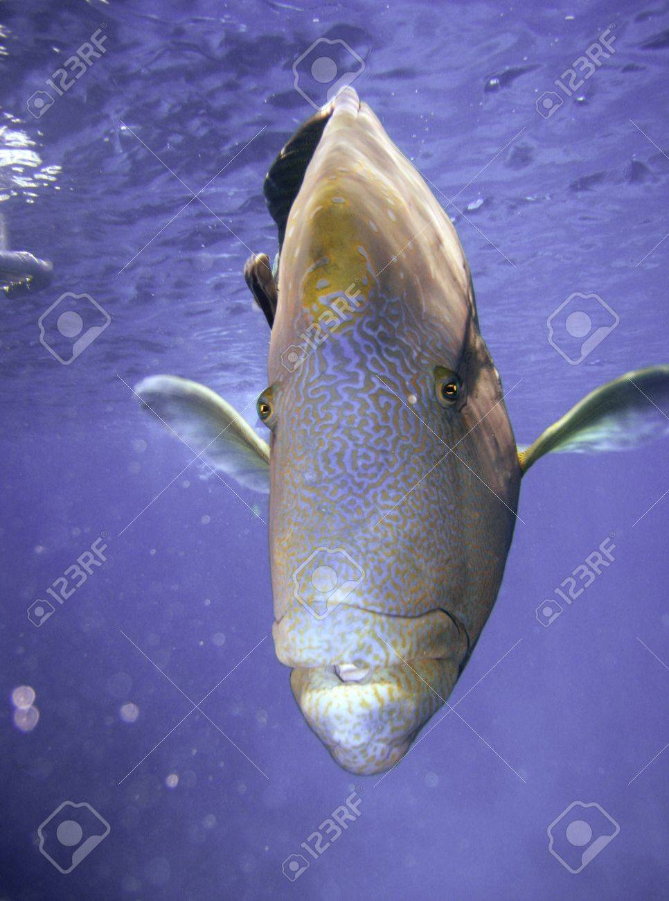 Humphead Maori Wrasse Face on the Great Barrier Reef, Queensland, Australia Stock Photo - 12653405