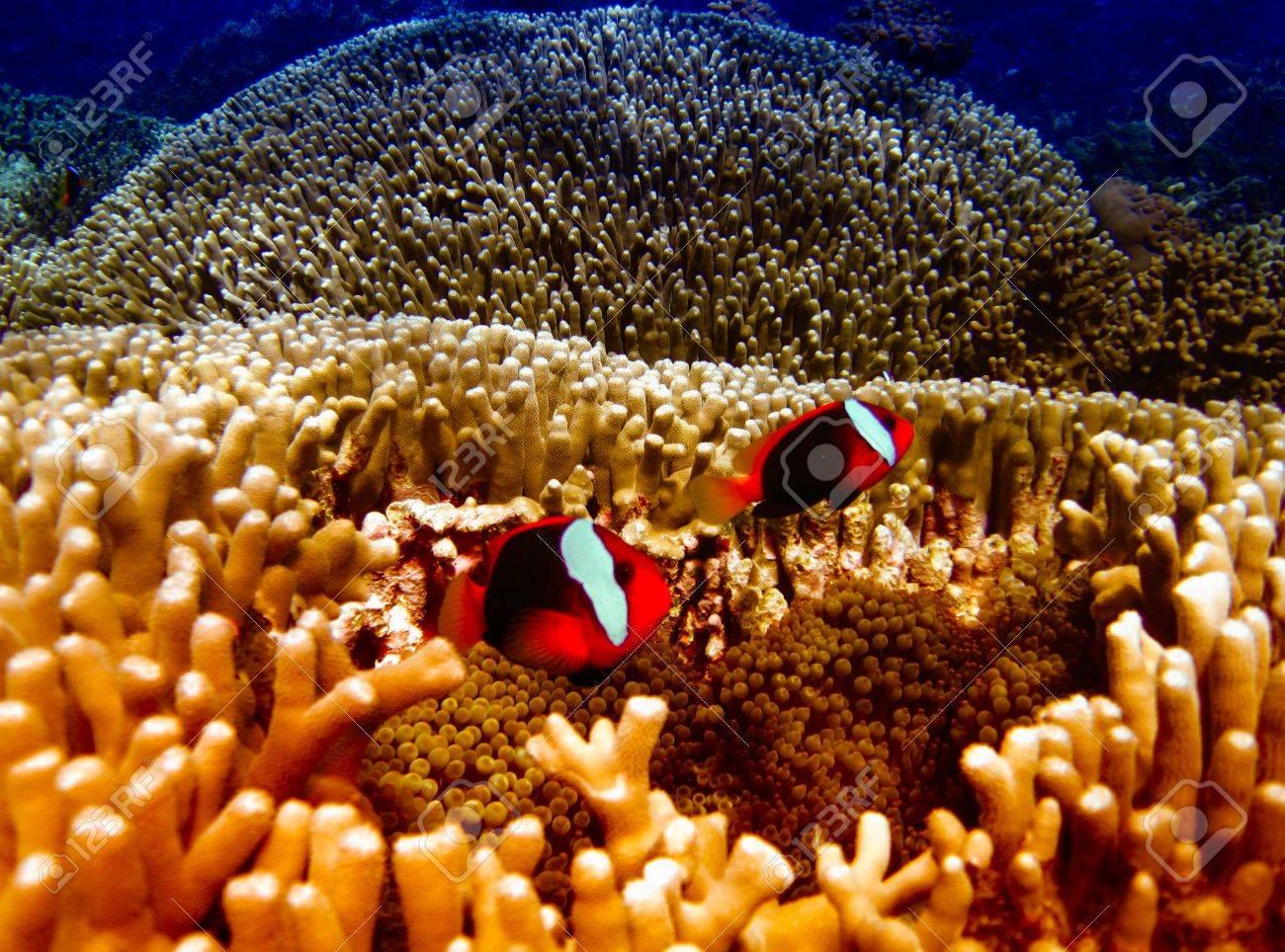 Nemo Fish on the Great Barrier Reef in Queensland, Australia Stock Photo - 16394090