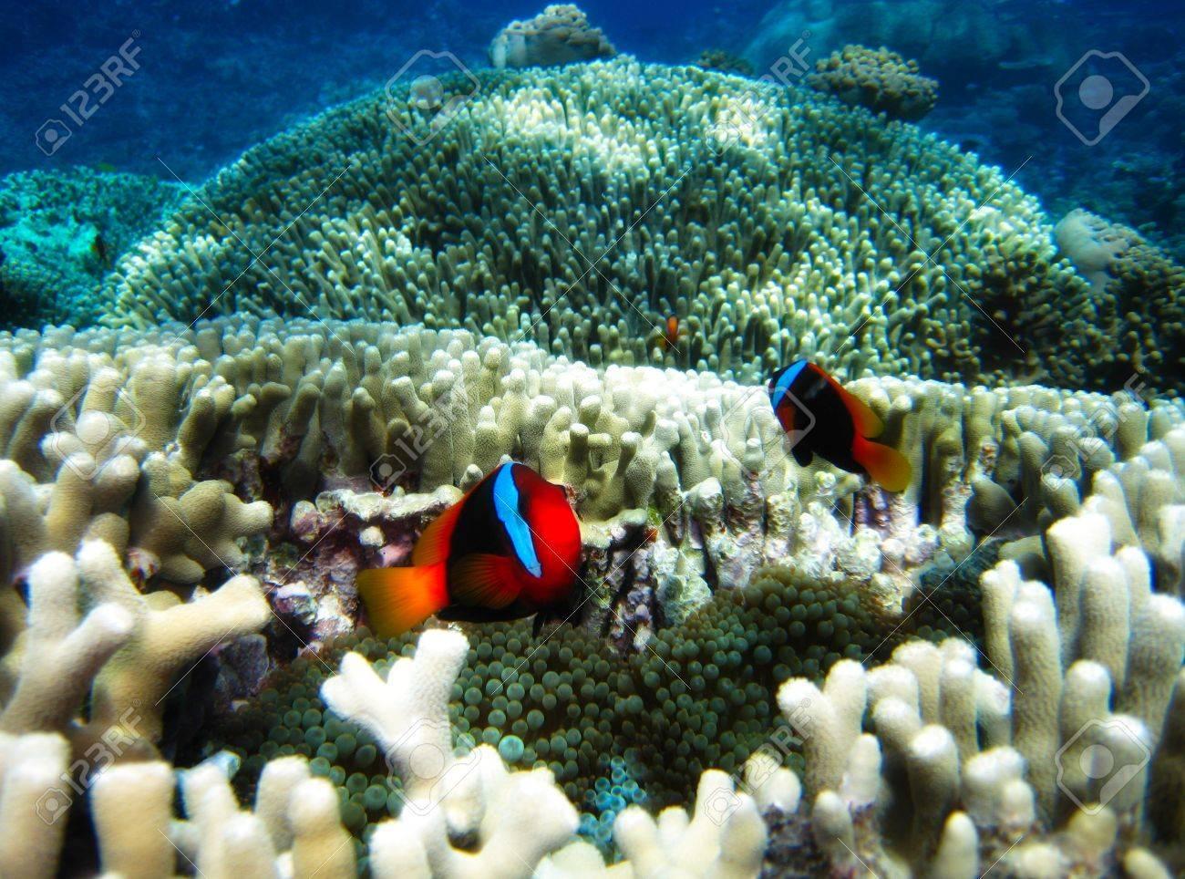Nemo Fish on the Great Barrier Reef in Queensland, Australia Stock Photo - 16384929