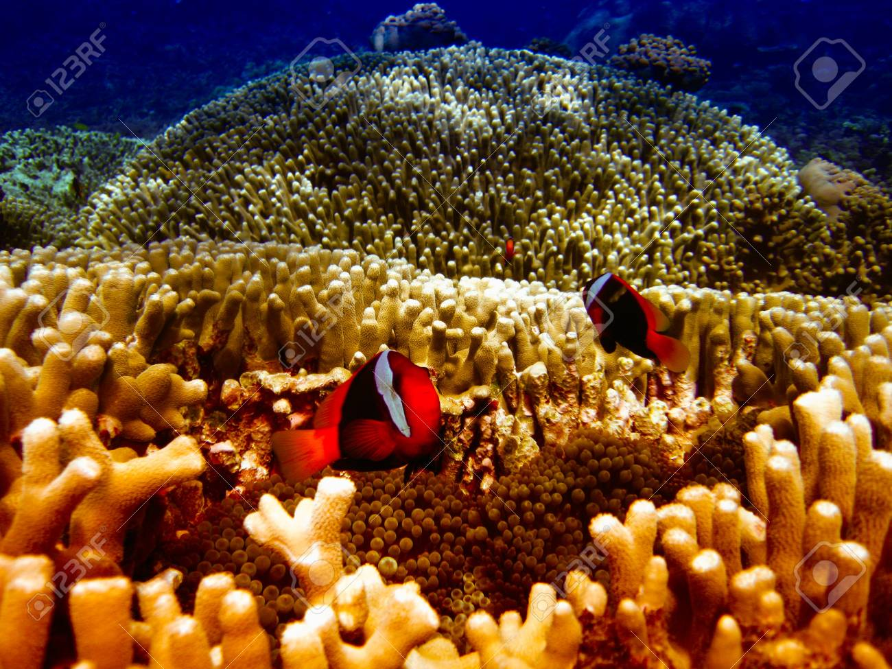 Nemo Fish on the Great Barrier Reef in Queensland, Australia Stock Photo - 19541875
