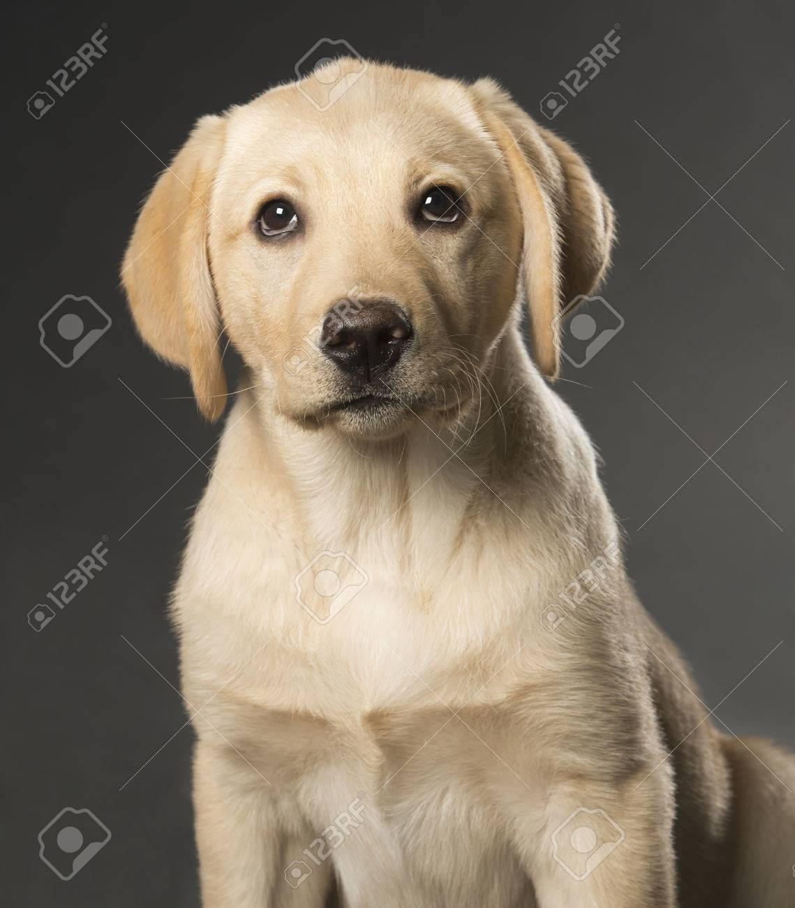Beautiful Labrador retriever, champagne colored, isolated on