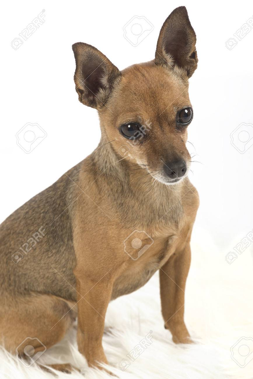 female pincher toy dog on white background stock photo picture and
