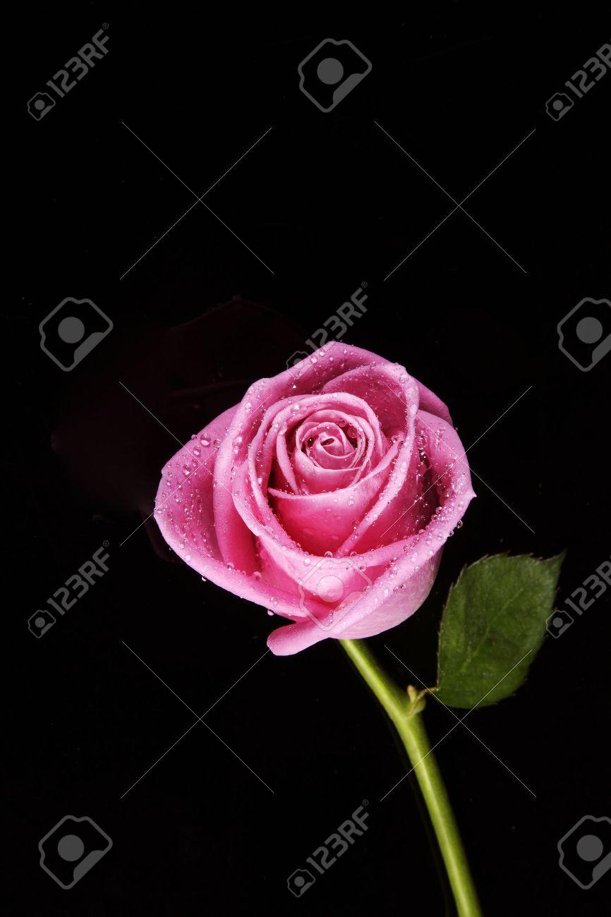 pink rose fresh bloom on black background - 15487185