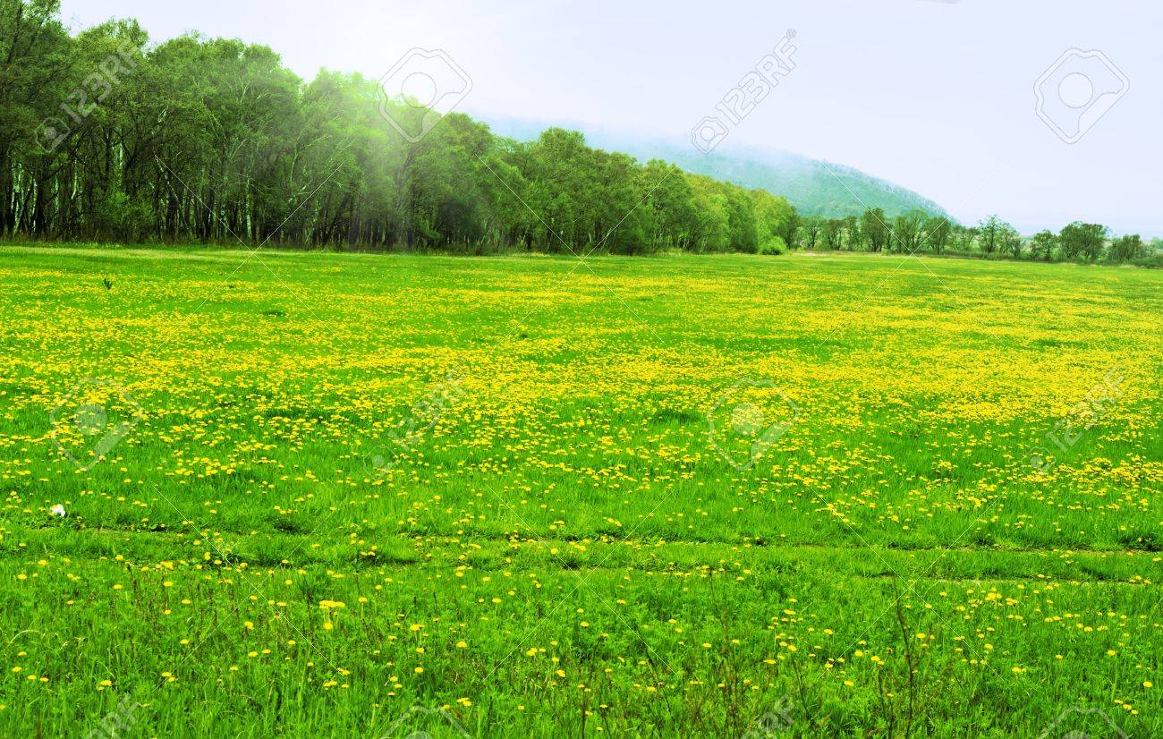 field with yellow daisies on a background of forest Stock Photo - 9632199