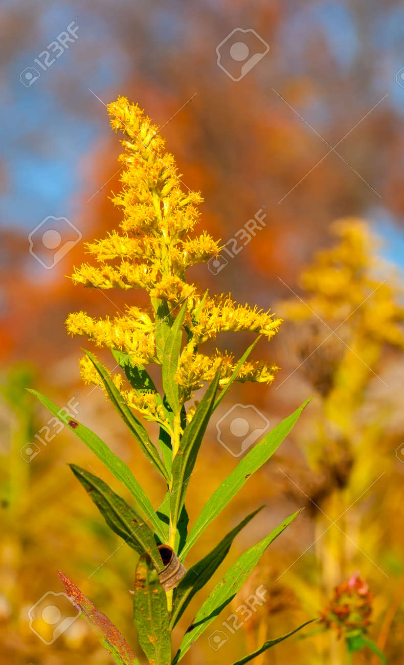 A stalk of goldenrod blooming in an autumn field Stock Photo - 20436139