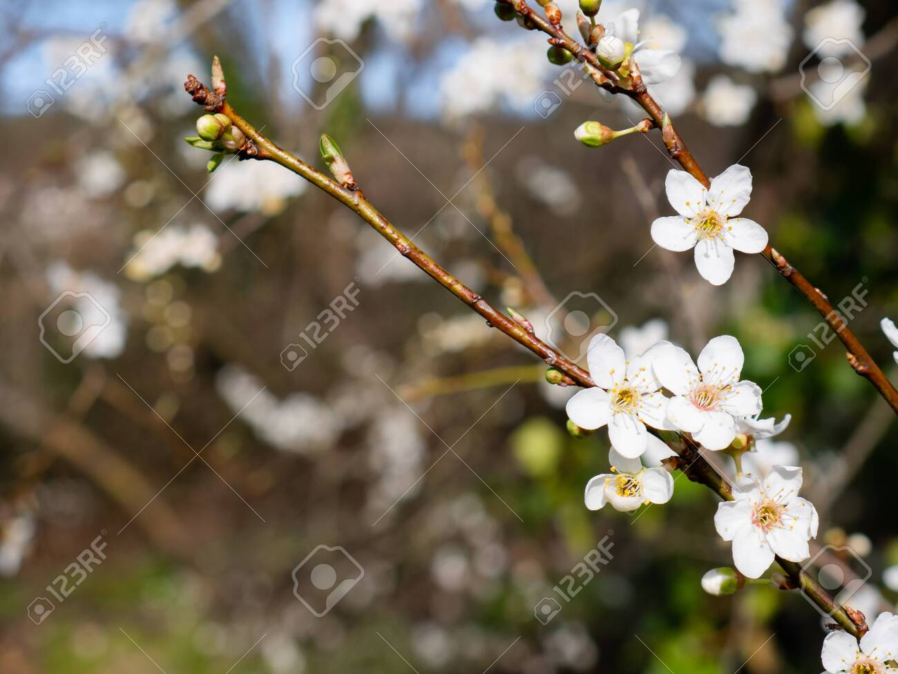 Beautiful White Flowers Of A Mirabelle Tree Prunus Domestica