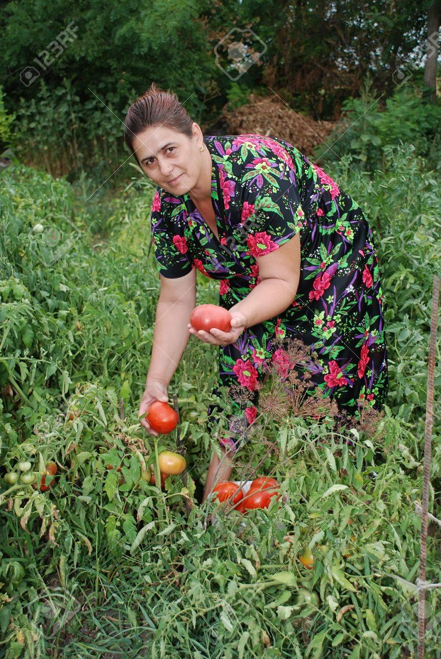 Woman collects ripe red tomatoes in division Stock Photo - 18990875
