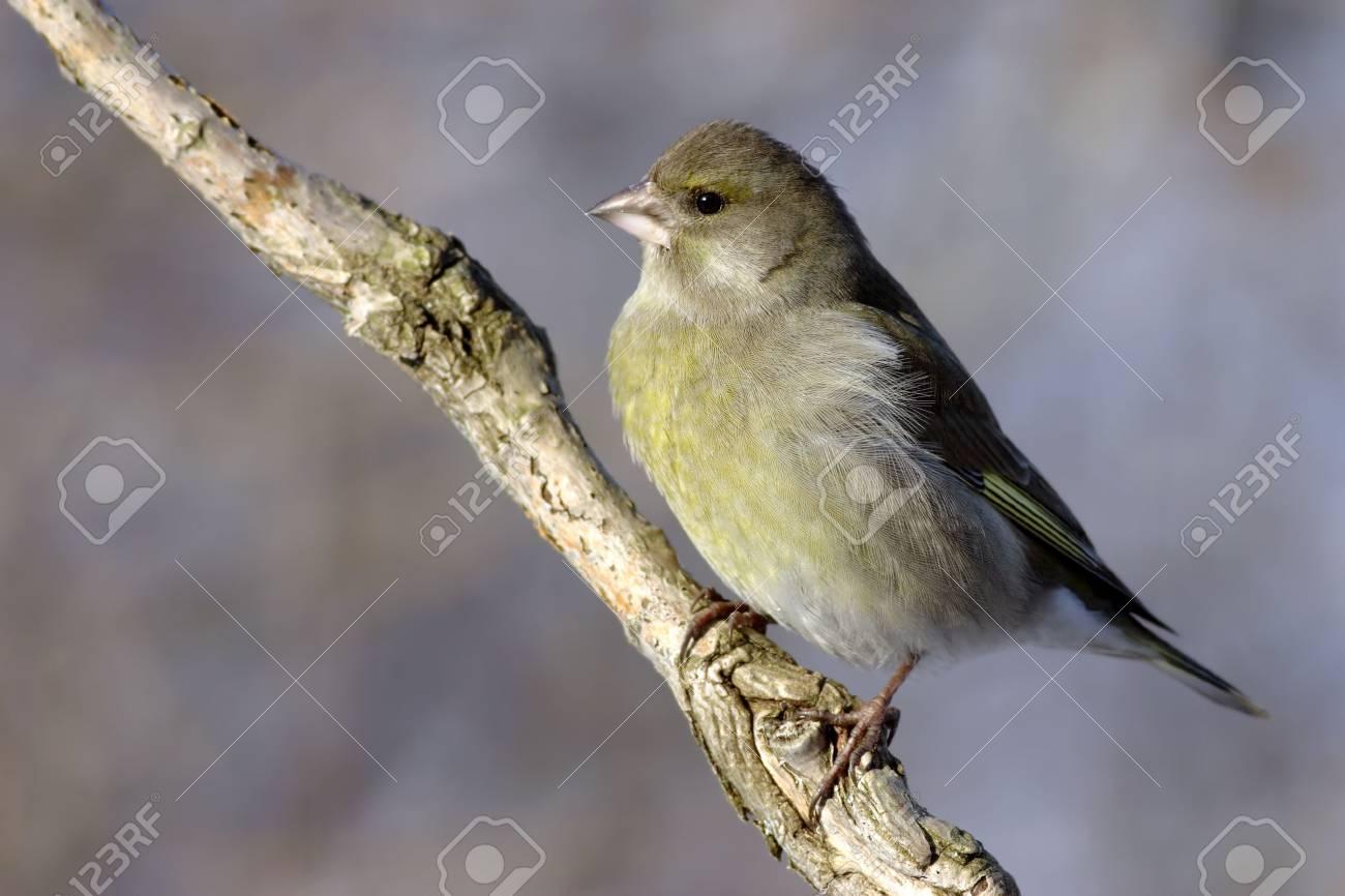 European Greenfinch Stock Photo - 3137145