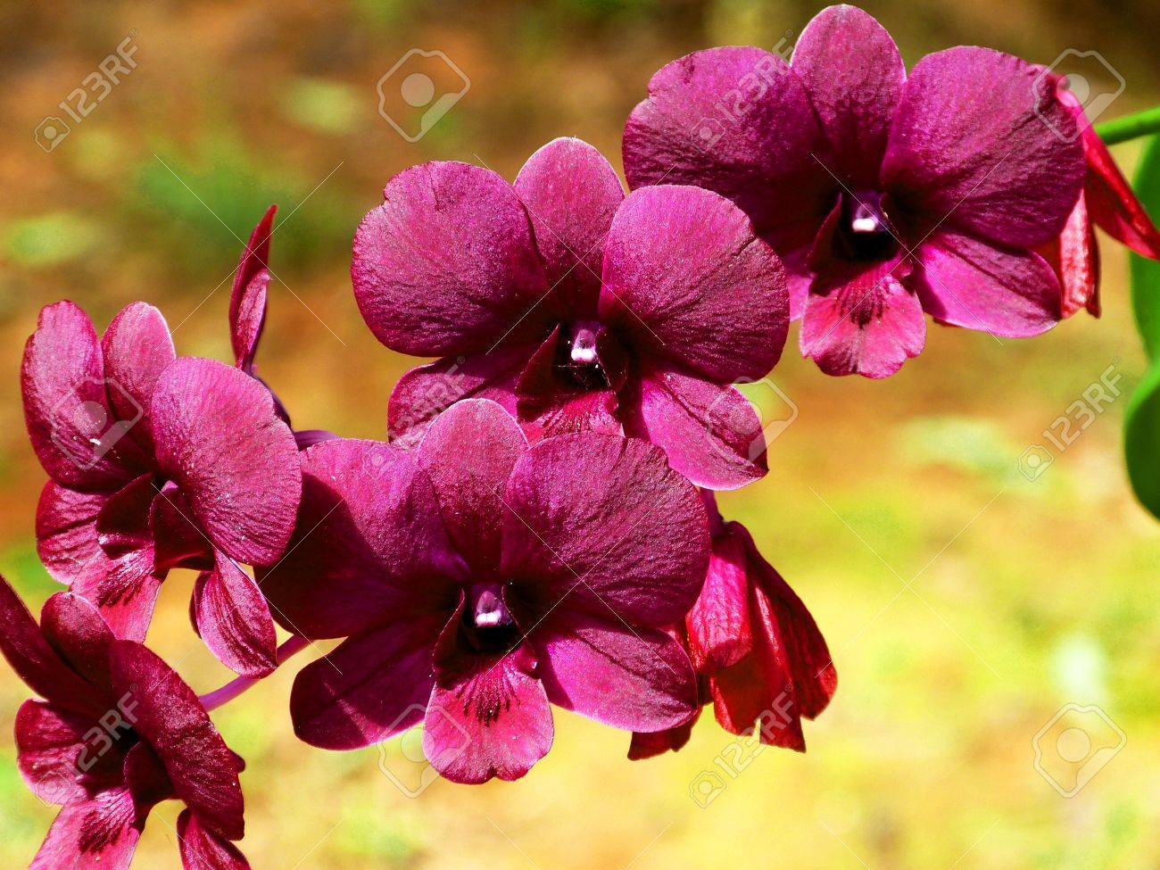 The color of hybrid orchid flower Stock Photo - 12955618